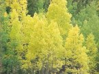 Bright Yellow Trees